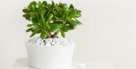 Rostliny, které vám doma nesmí chybět. Přitahují bohatství a štěstí