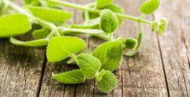 Rýmovník zabírá nejen na rýmu. Jaké nemoci ještě léčí a jak ho doma pěstovat?