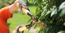 Živý plot se bez řezu neobejde. Kdy je na stříhání nejlepší čas?